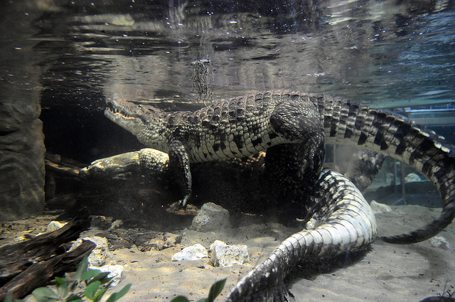 crocodiles sex